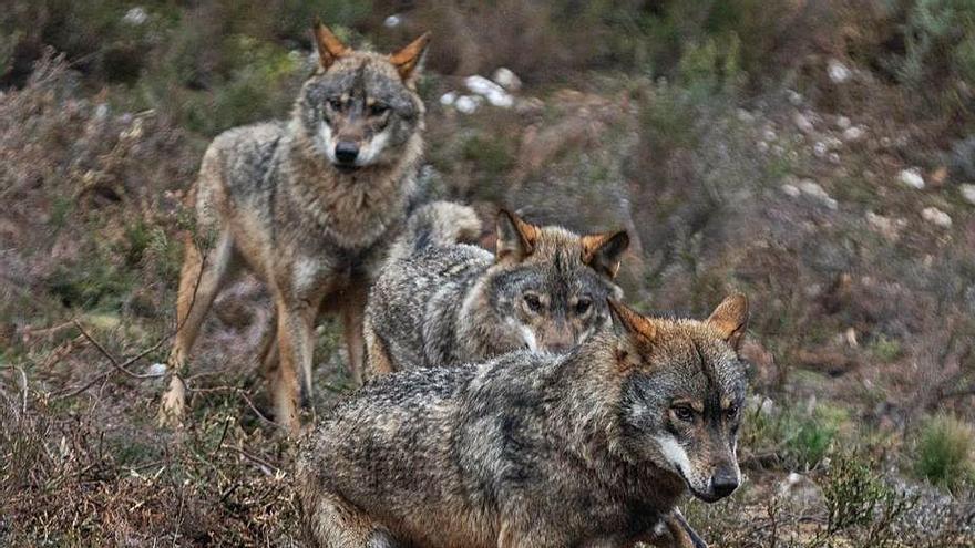 Tres ejemplares de lobo ibérico en Sanabria. | Emilio Fraile