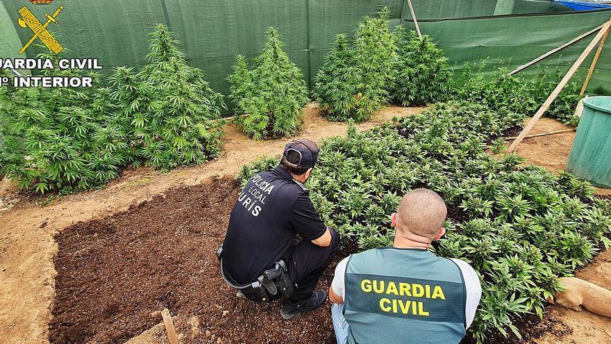 Crece el cultivo de marihuana en la Ribera