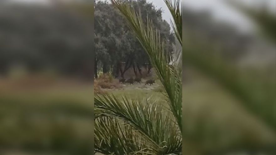 Los jabalíes destrozan cultivos  a un paso del Castell de Xàtiva