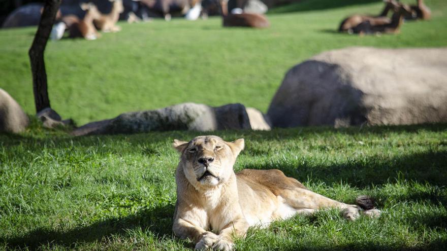Muere en Bioparc València la leona más longeva de España