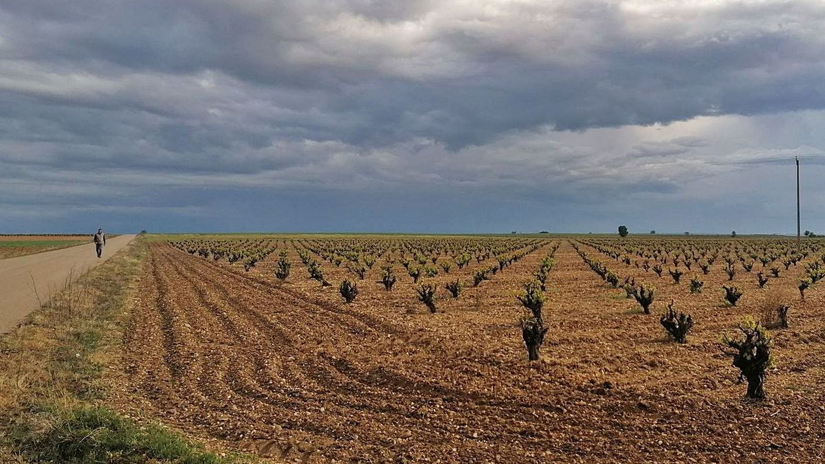 Un vecino pasea por un camino que linda con una parcela cultivada con viñedos en la DO Toro. | M. J. C.