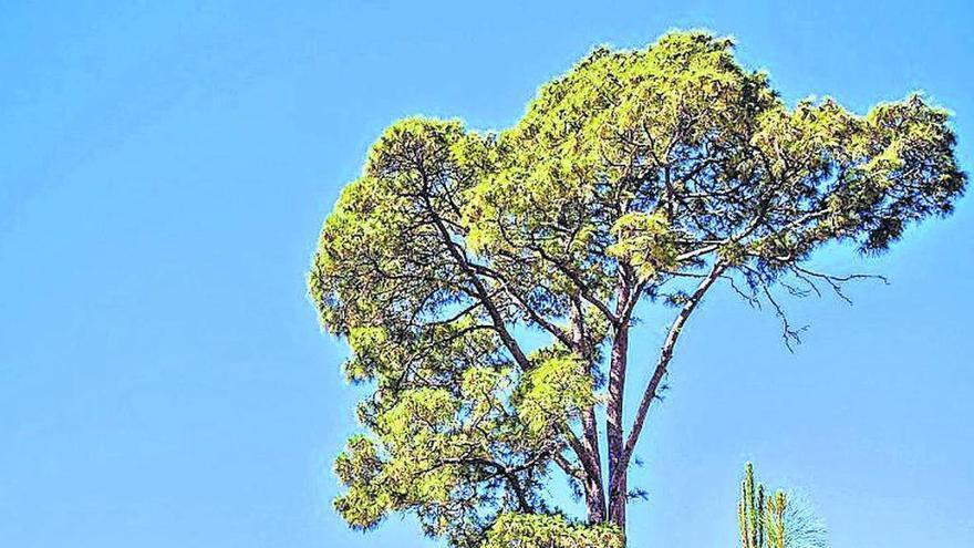 El pino que resistió al fuego en Gran Canaria