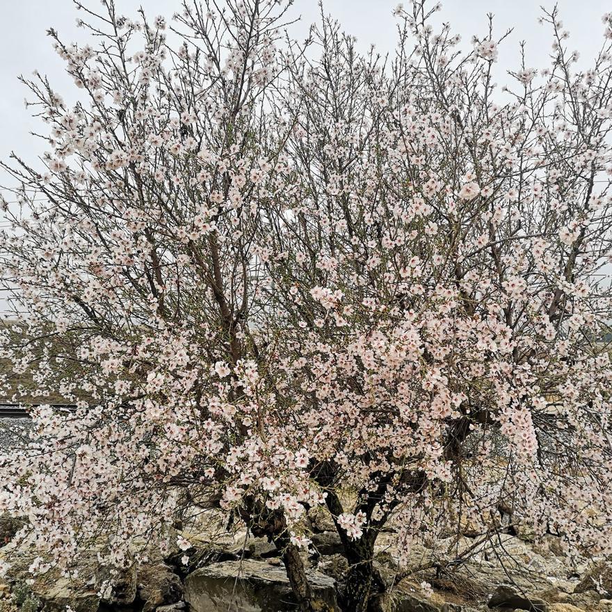Los almendros en flor ya alegran los paisajes valencianos