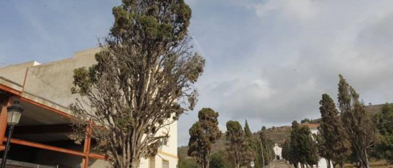 Cipreses afectados en la ermita.