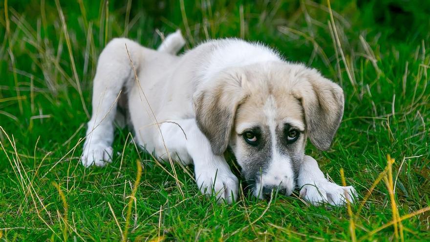 Parvovirus en perros: cómo se contagia, síntomas y tratamiento