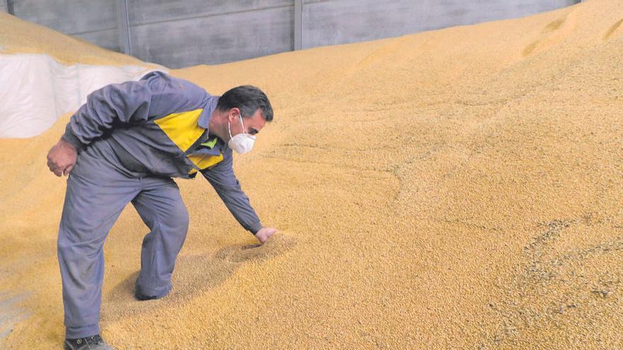 El trigo de la Comunidad se resiste a desaparecer