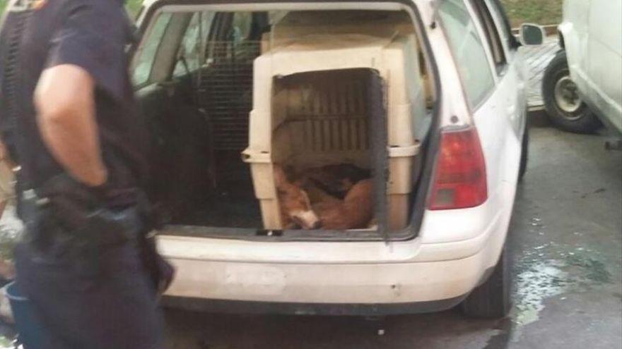 El Seprona investiga una denuncia de maltratato animal de Galgos del Sur