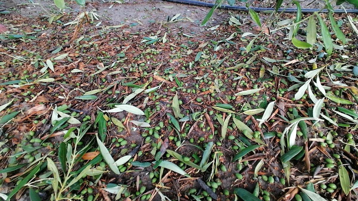 Imagen de los daños en el olivar facilitada por Asaja.