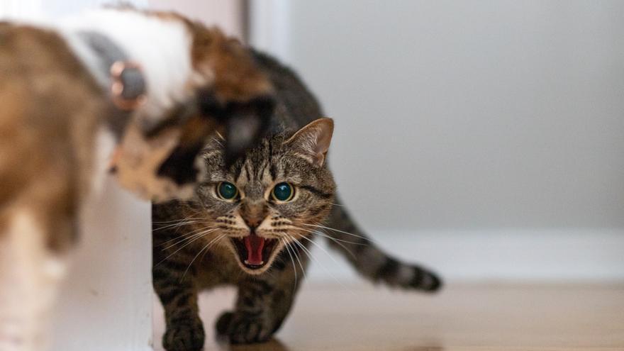 Los 5 gatos más agresivos del mundo
