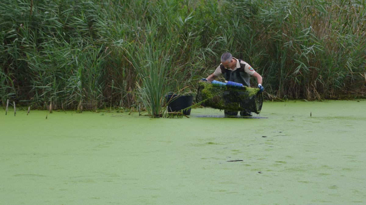 Personal del Consorcio del riu Millars realiza un control de seguimiento de las trampas.