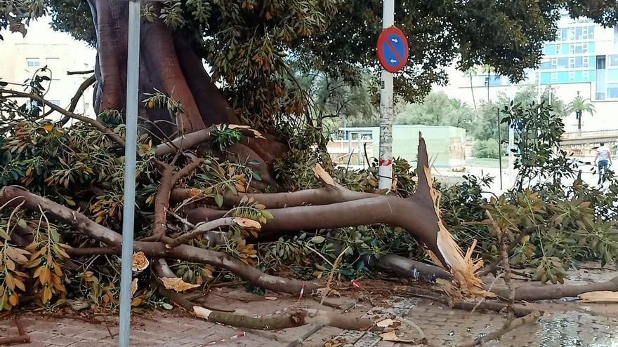 MC reclama más vigilancia y cuidado a los árboles de gran porte de Cartagena para evitar incidentes