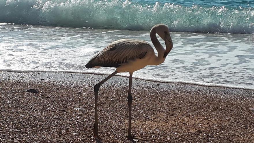 Un flamenco se pasea por la playa del Moraig