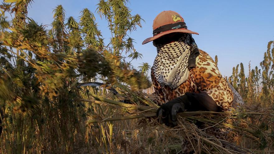 Marruecos, principal productor mundial, legalizará ciertos usos del cannabis