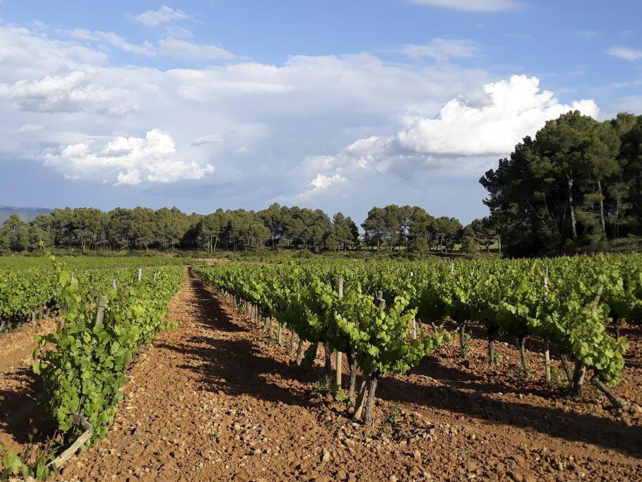Vinyes. A Catalunya el paisatge rural mediterrani clàssic, amb grans esteses d'olivera i vinya, es troba en punts molt concrets del territori. Aquesta imatge pertany a les vinyes de l'Anoia.