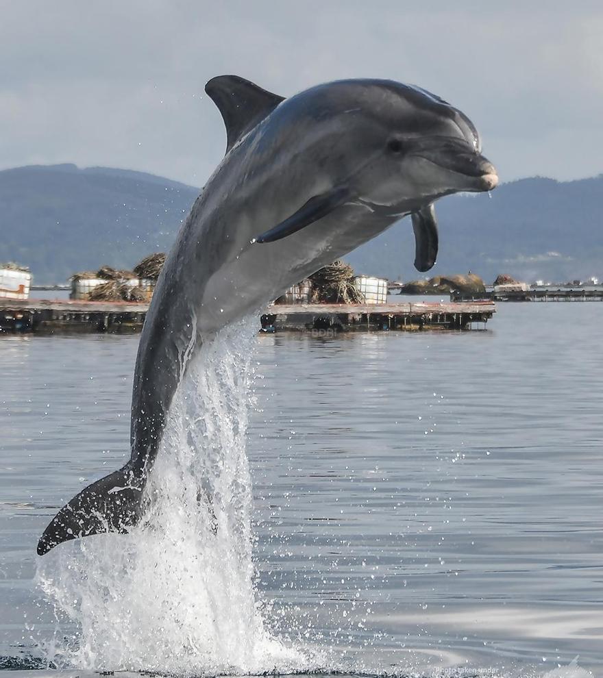 Un delfín mular entre bateas.