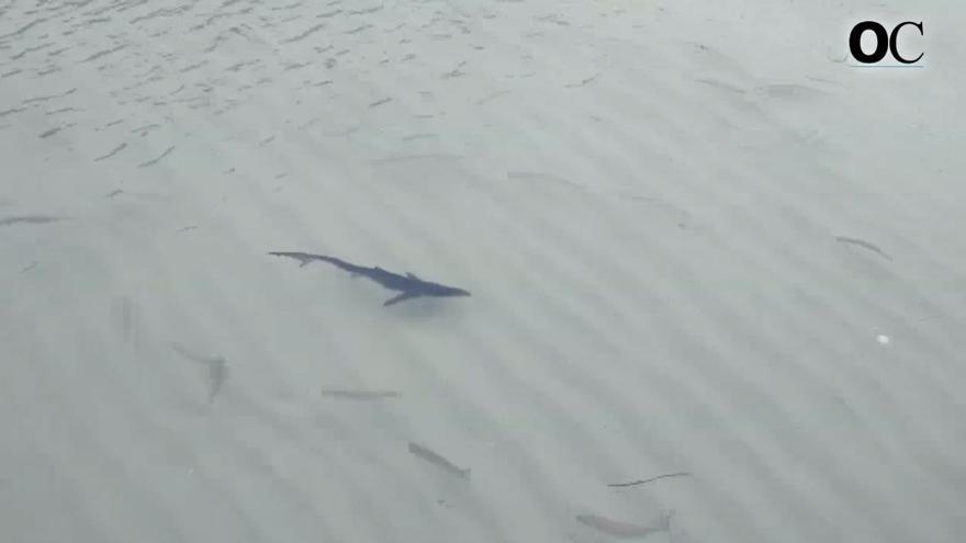 El paseo de un tiburón por la orilla de las islas Cíes