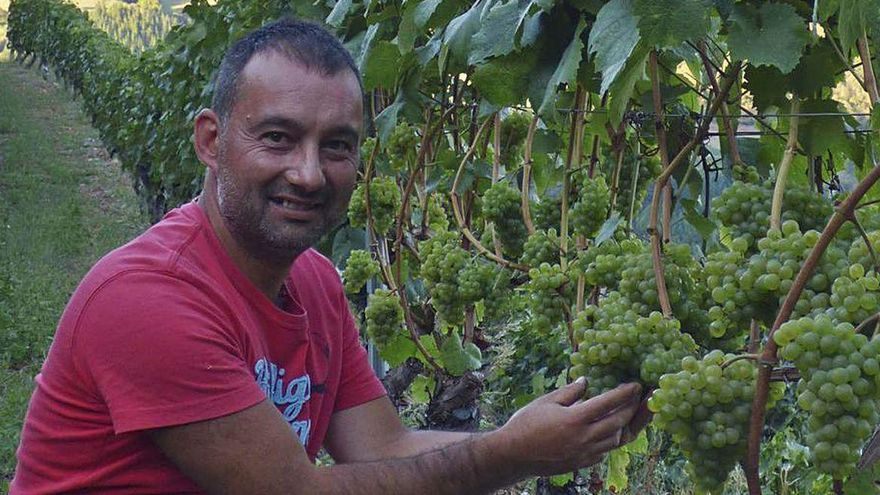 La DOP Vino de Cangas confía en alcanzar los 100.000 kilos de uva pese a los hongos