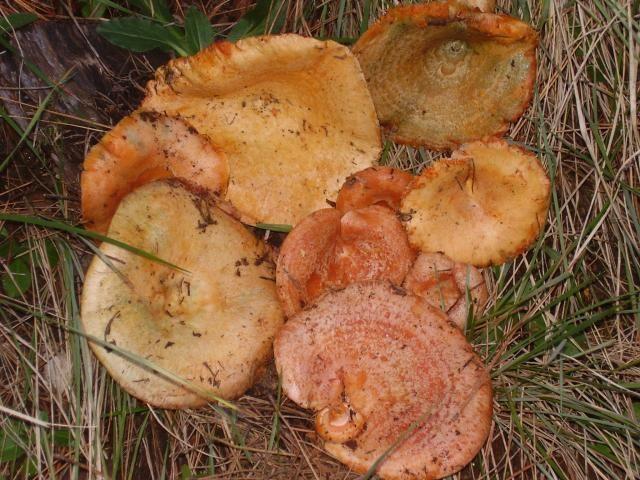 Níscalos. Los 'lactarius deliciosus' crecen bajo los pinos tanto en otoño como en primavera. De color ocre y carne blanca y anaranjadas son habituales en la comunidad.
