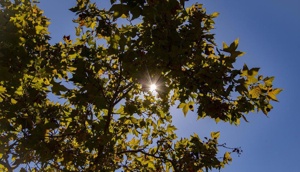 Bonic contrast de tardor amb un raig de sol i el to de les fulles del plataner a Manresa