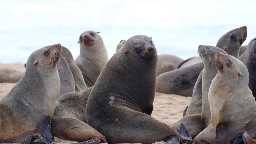 Alarma por la misteriosa muerte de miles de lobos marinos en el sur de África