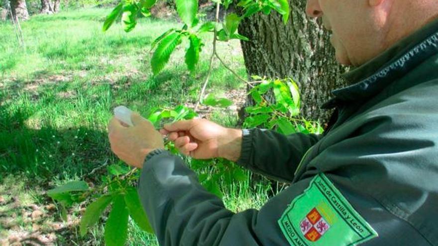 Ejemplares de 'Torymus sinensis' se liberarán en Zamora para acabar con la avispilla del castaño