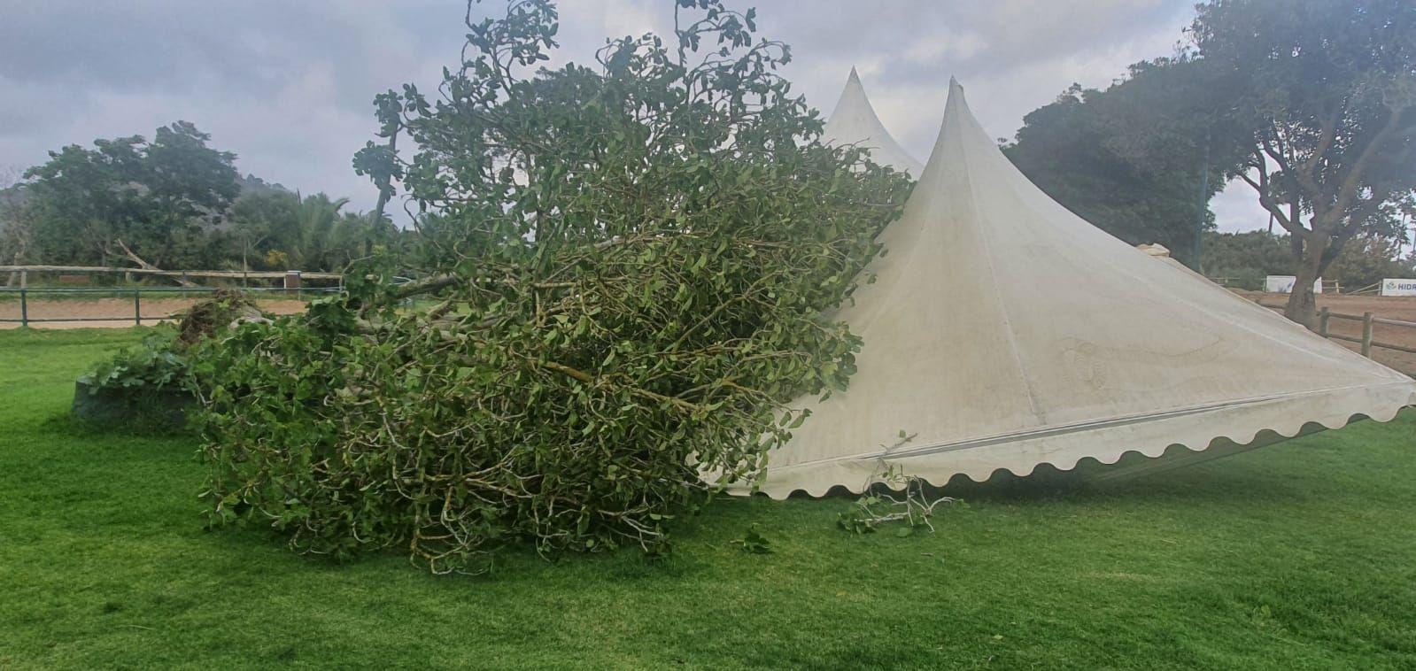 El viento arranca una higuera en el Real Club de Hípica de Bandama y parte una palmera en Ingenio (14/05/2021)