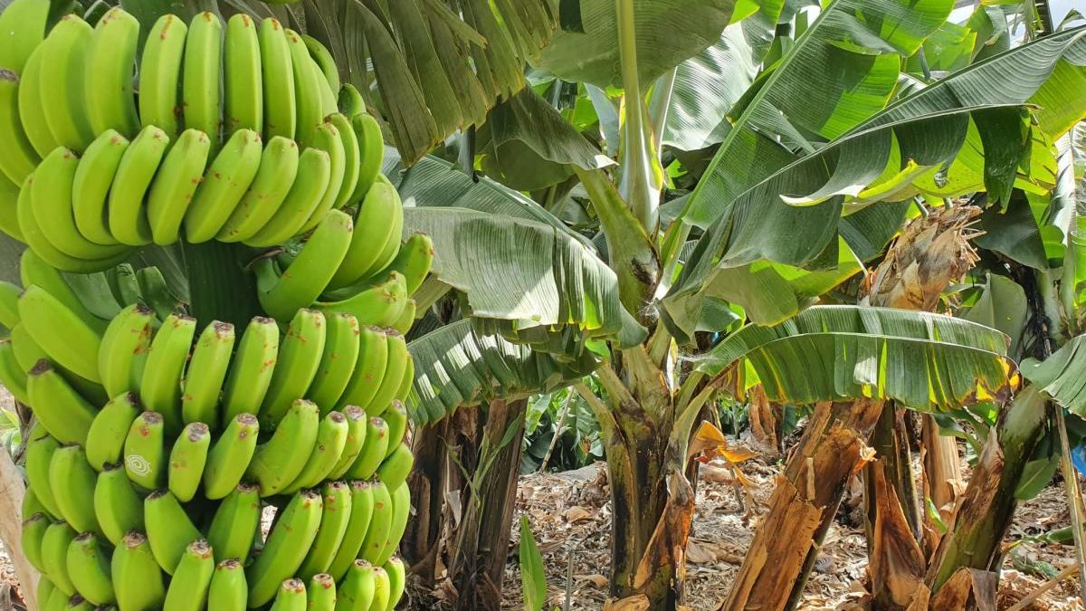 Una piña de plátanos en un cultivo de Canarias.