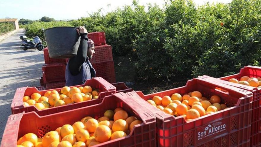 Los cítricos de Castelló son los peor pagados de un sector agrícola en plena crisis