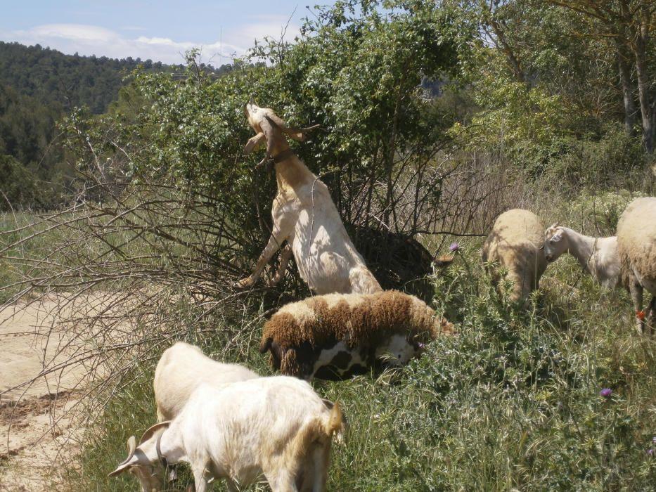 Cabretes. Bens, cabres, paisatges bucòlics. Quina gràcia, com s'enfila per menjar! Tota la zona del meandre dels Tres Salts a l'alçada de Viladordis convida a passejar i a gaudir de la natura.