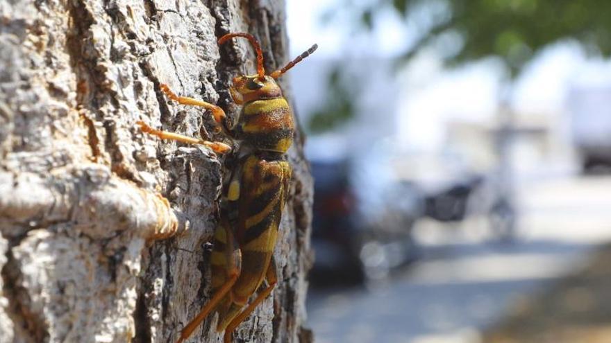 El escarabajo avispa afecta al 10 % de las moreras de Sagunt y Quartell