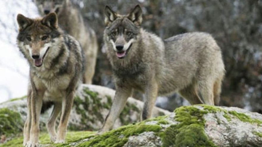 El Noroeste retoma las negociaciones para tratar de frenar el plan del Gobierno para blindar el lobo