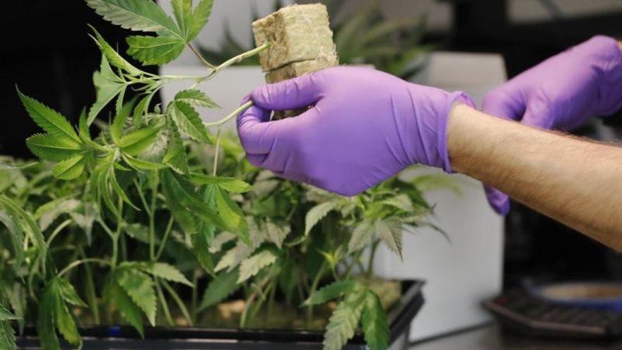 Así es la empresa cordobesa que asesora en el cultivo del cannabis con fines farmacéuticos
