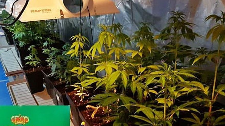 Marihuana en la bodega: 3 investigados en un nuevo operativo de la Guardia Civil