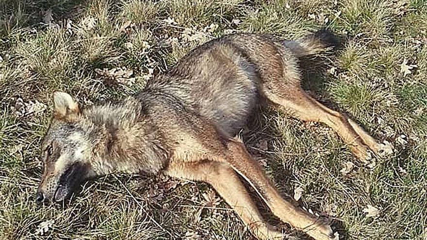 Abaten de un tiro a una loba en A Gudiña, donde hay manadas que atacan al ganado