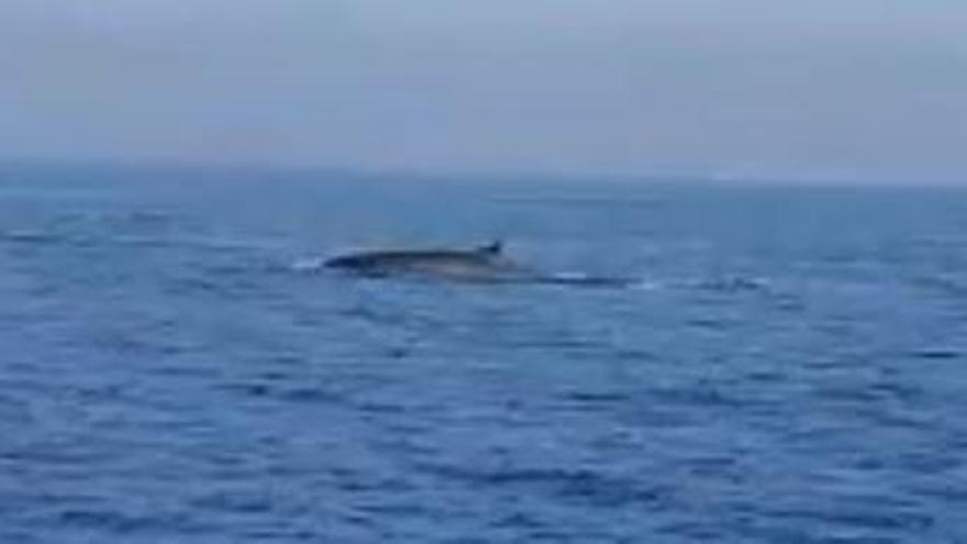 Avistan en Mazarrón un ejemplar de ballena rorcual