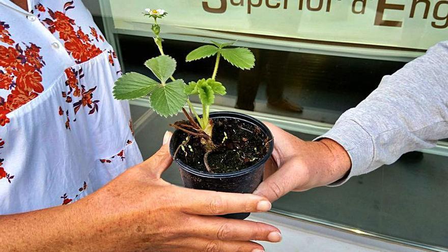 Plantas de fresa para medir la calidad del aire