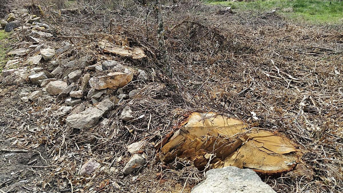 Uno de los robles talados recientemente en Manzanal de Arriba. | Cedida