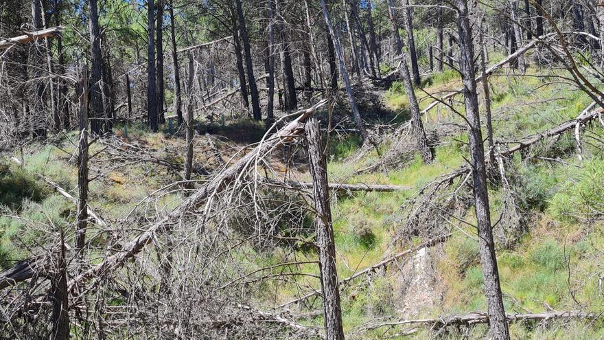 La Conselleria rectifica y retirará los troncos secos del bosque de Torás