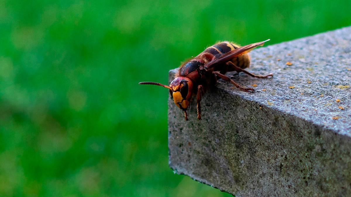 Ejemplar de vespa crabro