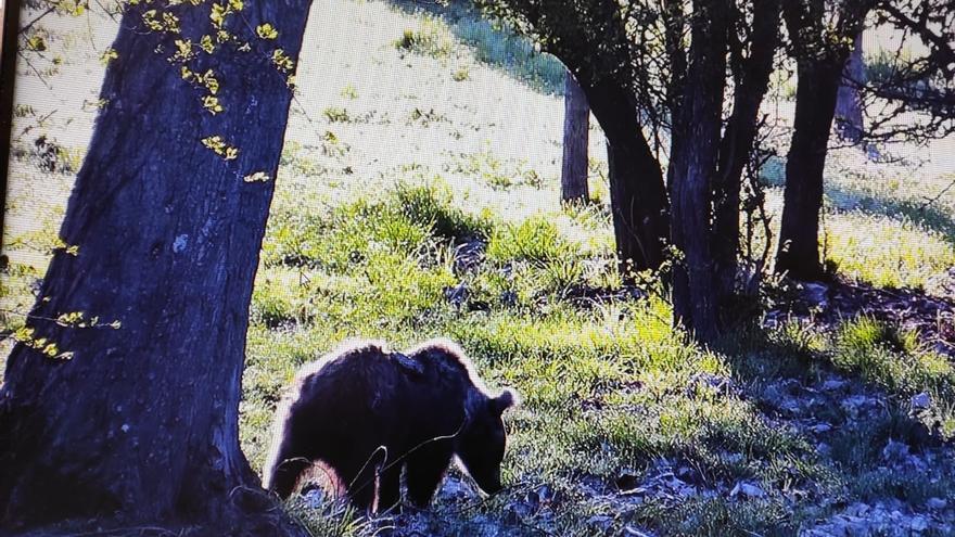 La osezna recogida en Somiedo el verano pasado vuelve a ser libre en el Parque Natural de Redes
