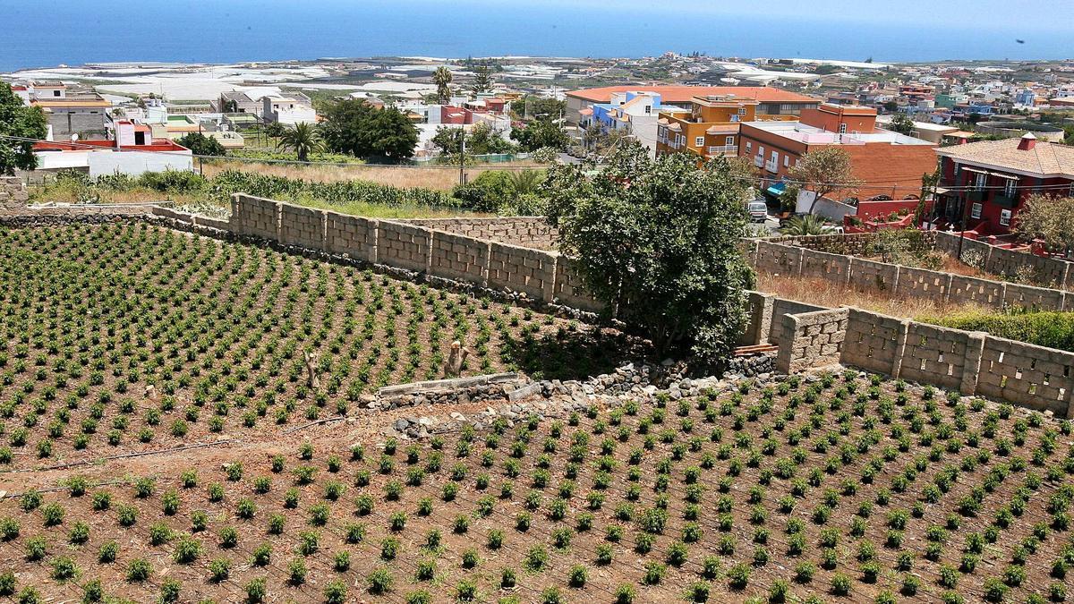 Explotación agrícola en Valle de Guerra, municipio de La Laguna.
