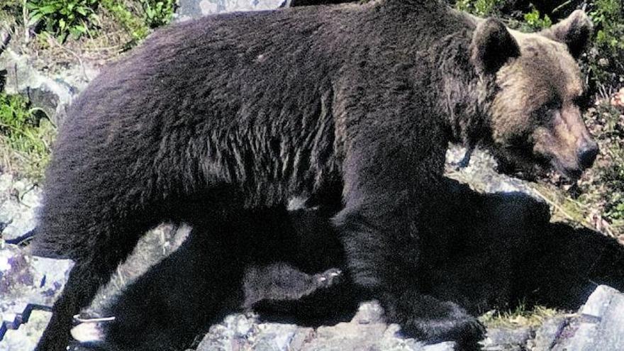 Los osos asturianos son los más golosos