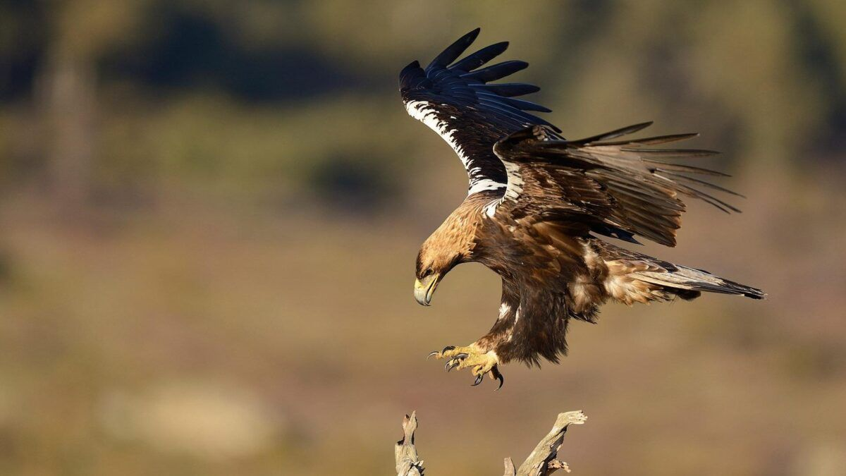 Denuncian que un megaparque solar amenaza la recuperación del águila imperial