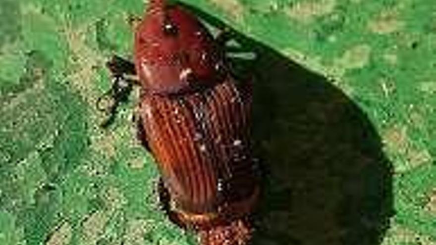 """Picudo rojo, el insecto """"sin papeles"""" que vino de Asia y arrasó las palmeras de As Burgas"""