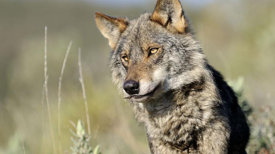 El Gobierno anuncia 20 millones de euros para compensar los ataques de lobo
