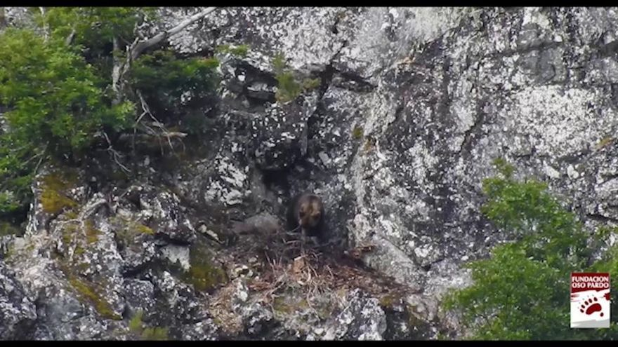 La madre de la cría de oso que intenta rescatar el Principado murió al defenderla del ataque de un plantígrado adulto