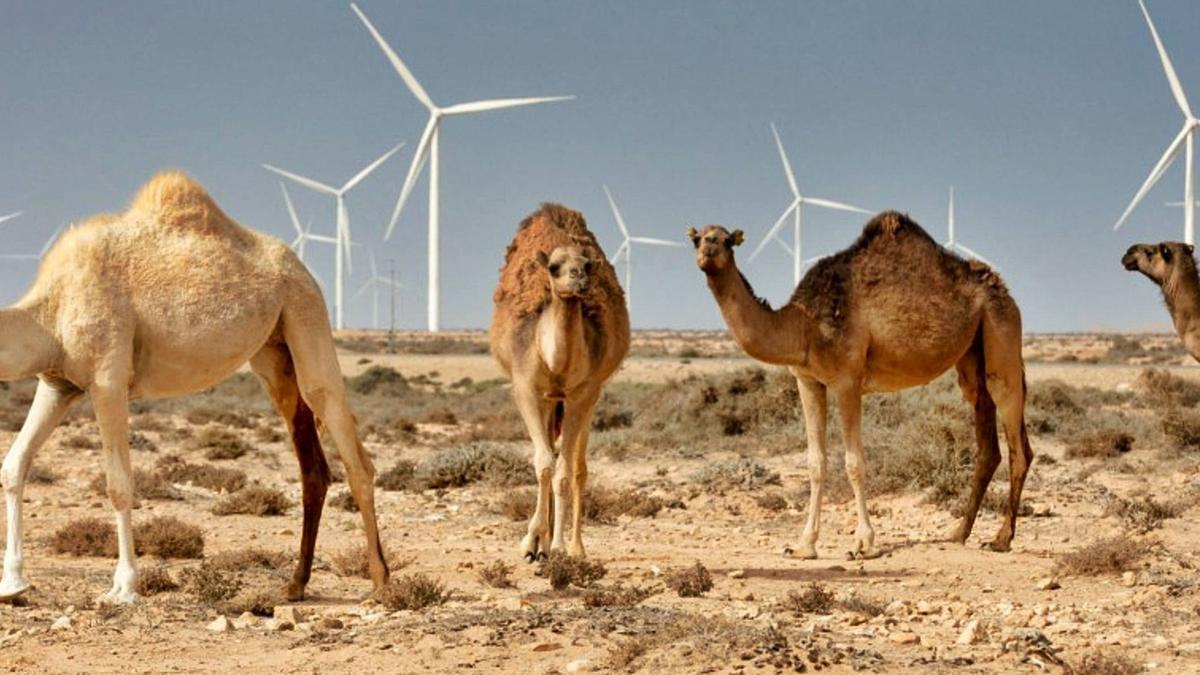Dromedarios ante los molinos de viento del parque eólico Siemens Wind Power de Tarfaya.