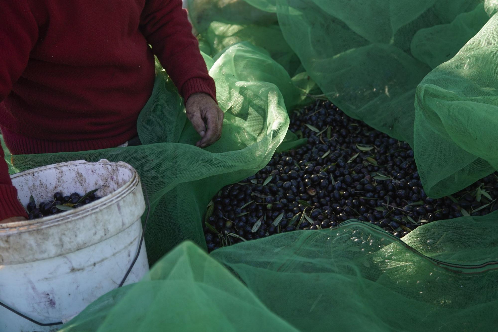 """Las mejores imágenes del """"cosechón"""" de aceitunas en Arribes"""