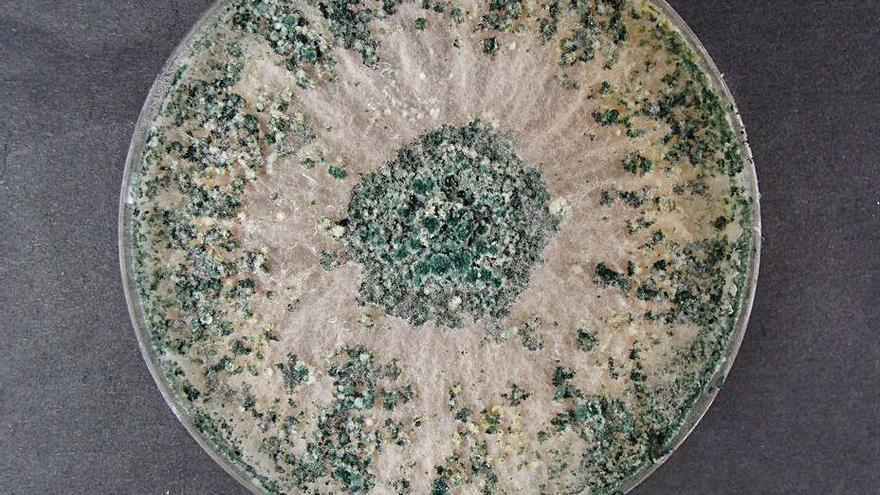 Un investigador halla el hongo que acaba con las plagas del garbanzo de Fuentesaúco