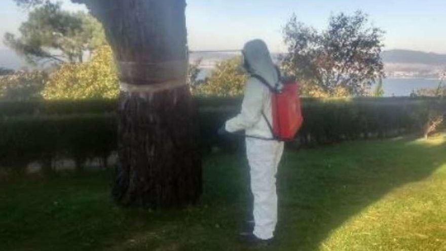 El Concello revisa 3.100 pinos al adelantarse el ciclo de la procesionaria